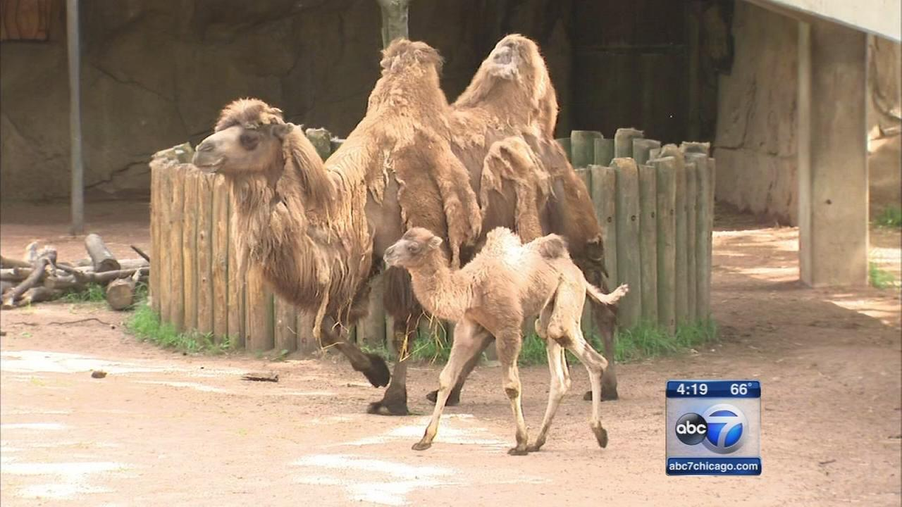 Lincoln Park Zoo names baby camel 'Alexander Camelton'