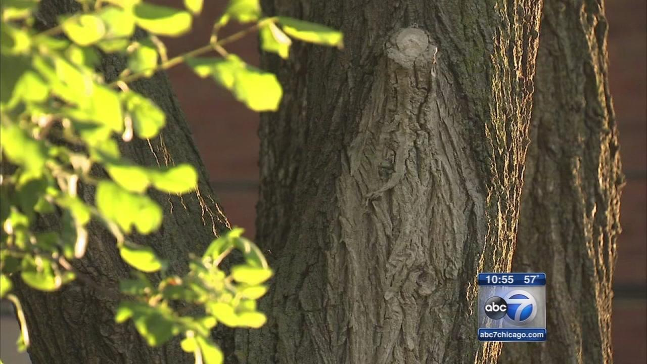 South Side parishioners report seeing Virgin Marys image in tree