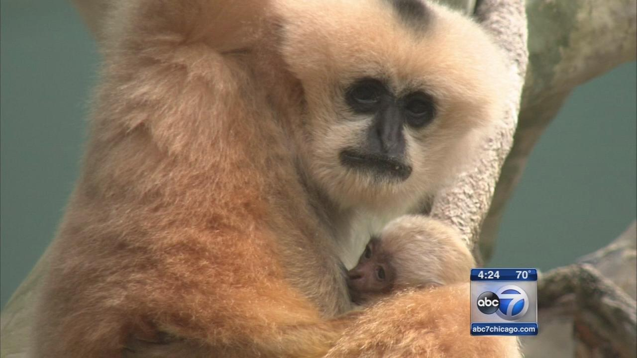Baby gibbon welcomed at Brookfield Zoo