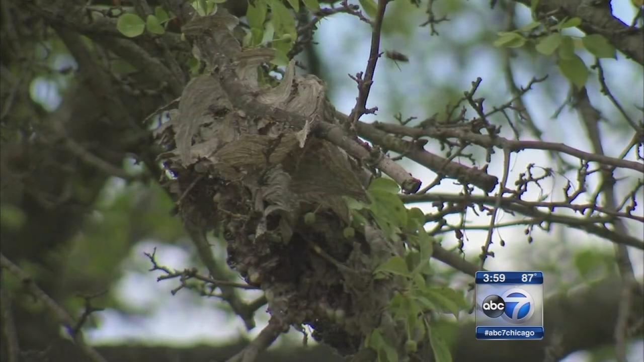 Postal carrier attacked by hornets