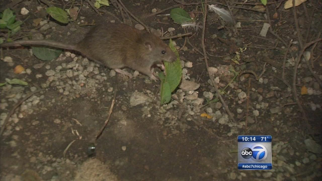 Dry ice deployed in war between city and rats