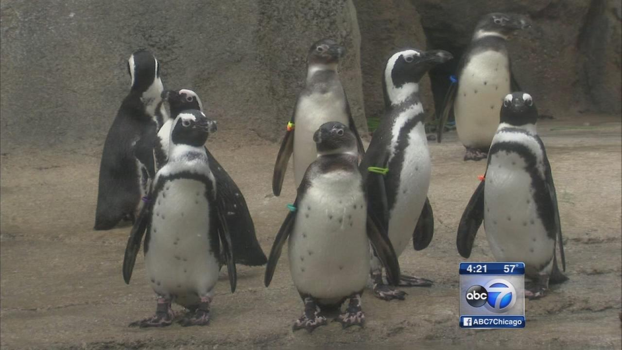 African Penguin exhibit opens at the Lincoln Park Zoo
