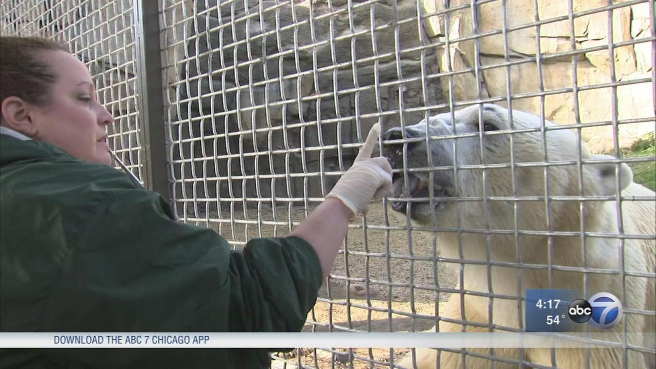 Training the Lincoln Park Zoos new polar bear