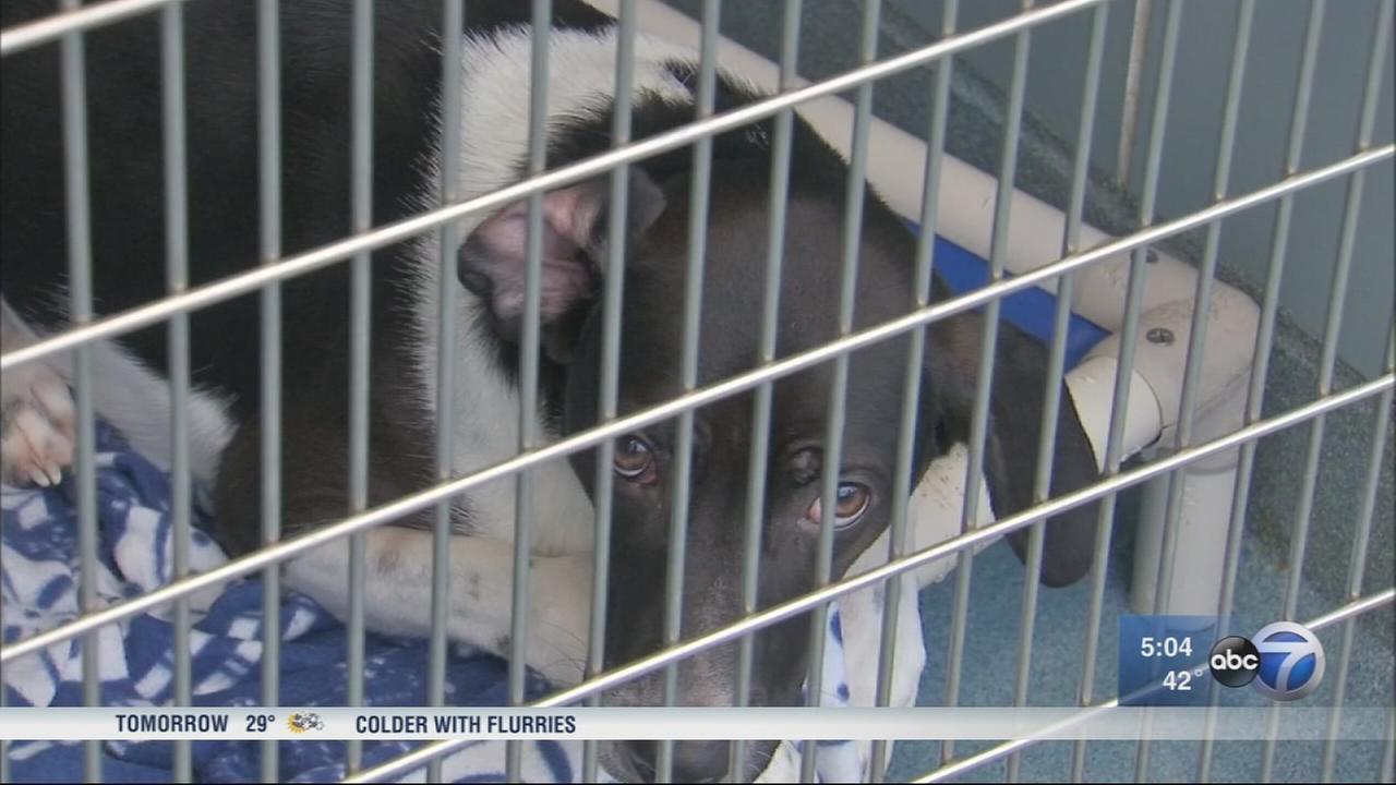 Dog flu outbreak halts adoptions at Chicago shelter
