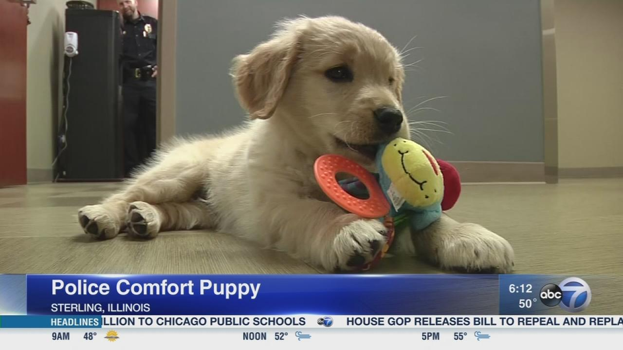 Sterling puppy K9 trains as comfort dog