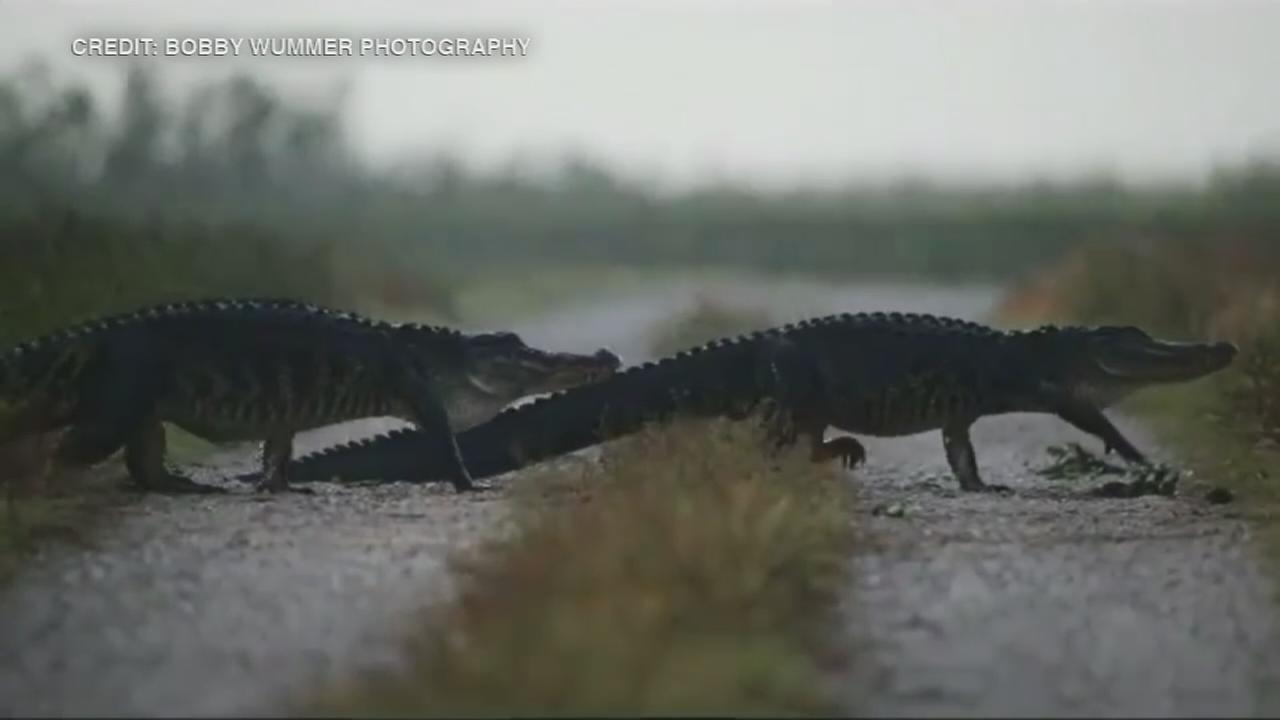 Photographer captures parade of gators