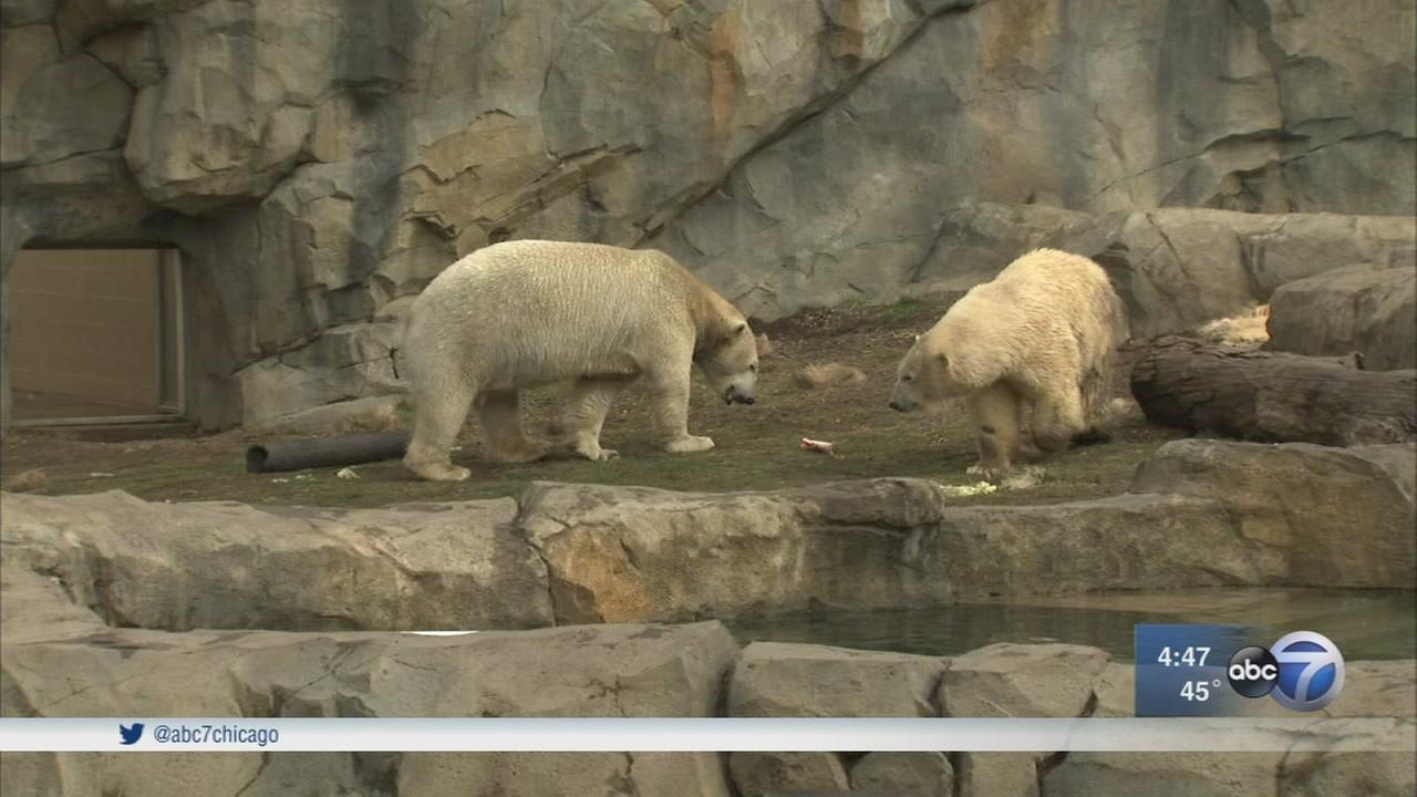 Brookfield Zoo hoping sparks fly between polar bears