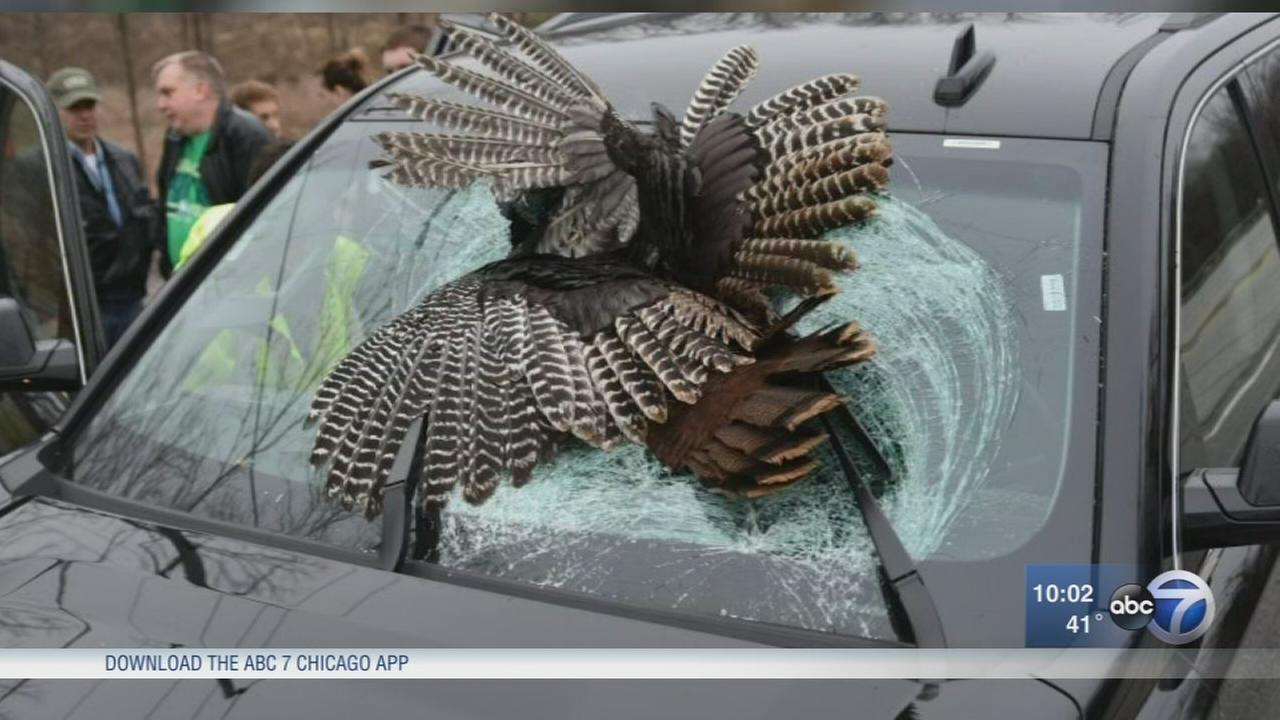 30-pound wild turkey killed in crash with rental car in Indiana