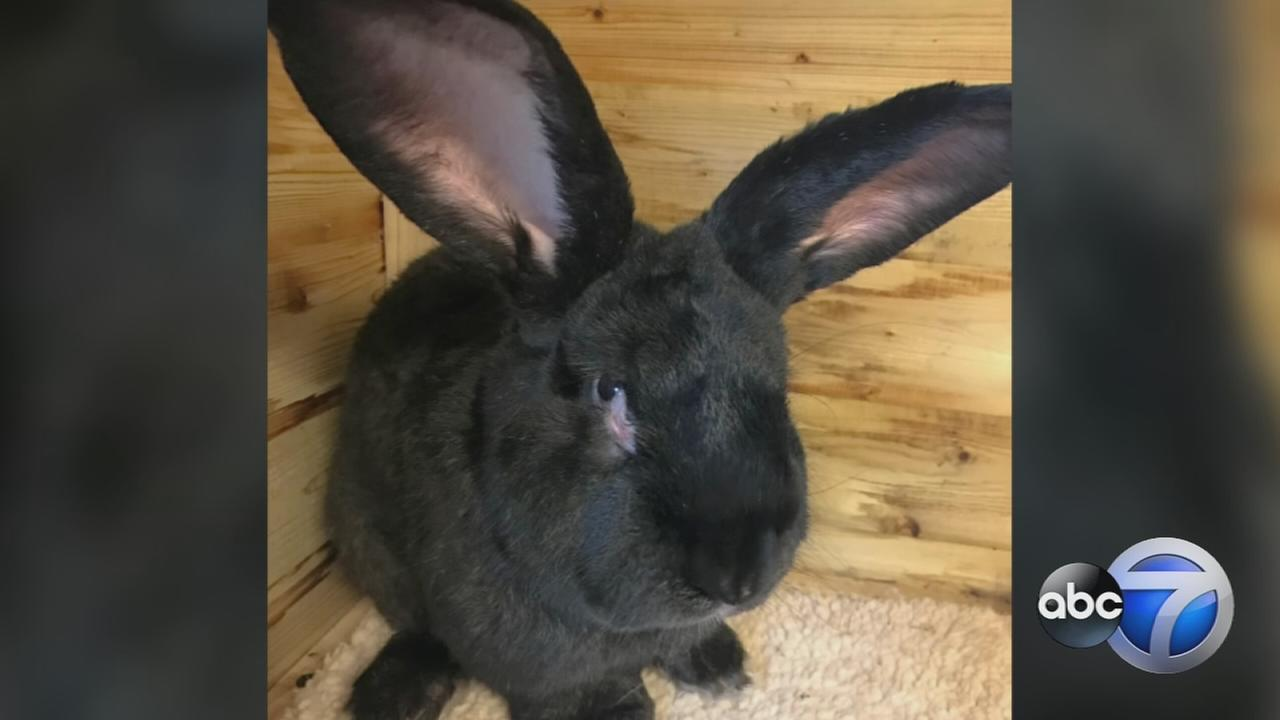 Giant rabbit dies after UA flight