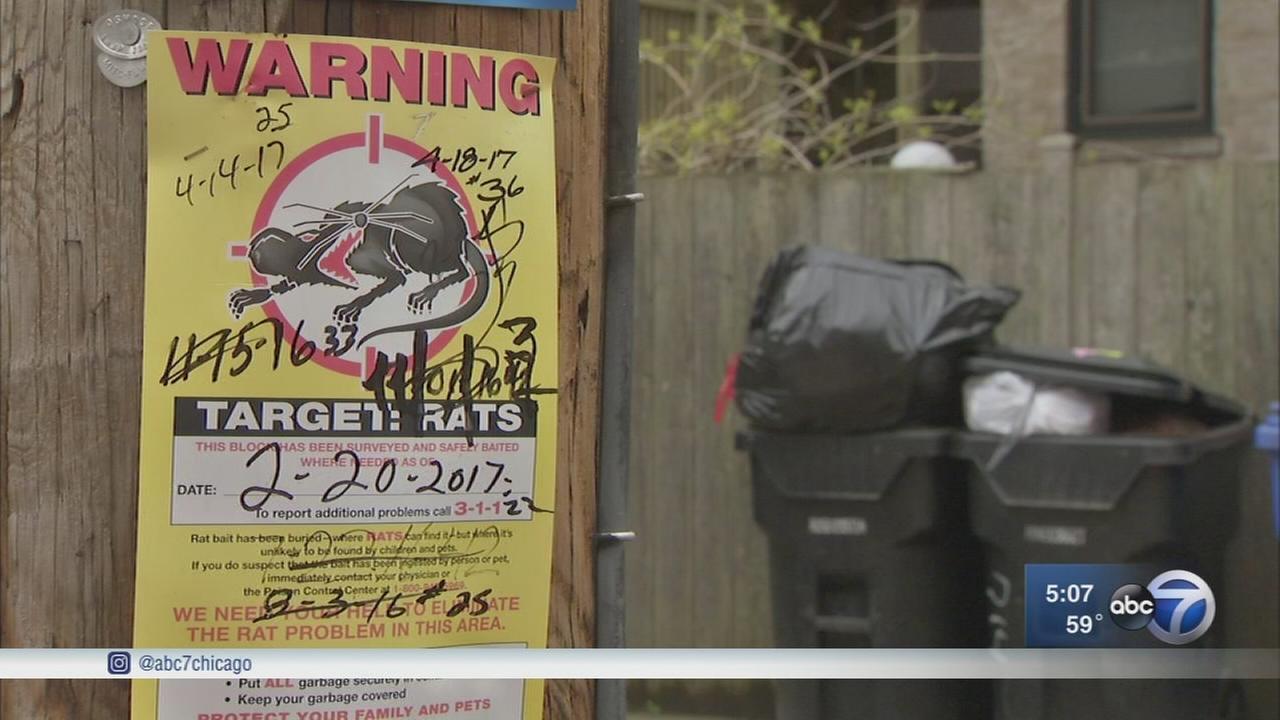 Chicago rat complaints on the rise after mild winter