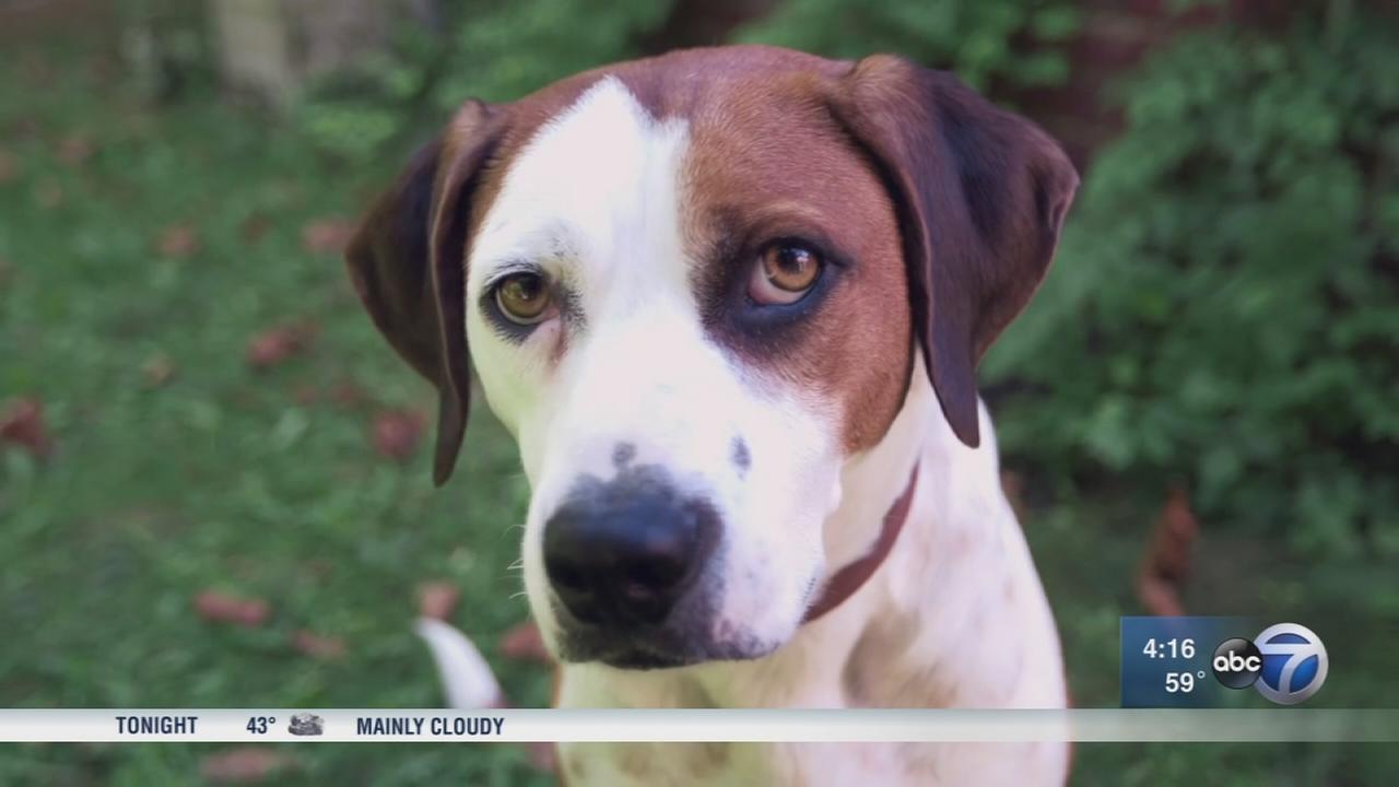 Downward Dog star discovered at PAWS Chicago shelter
