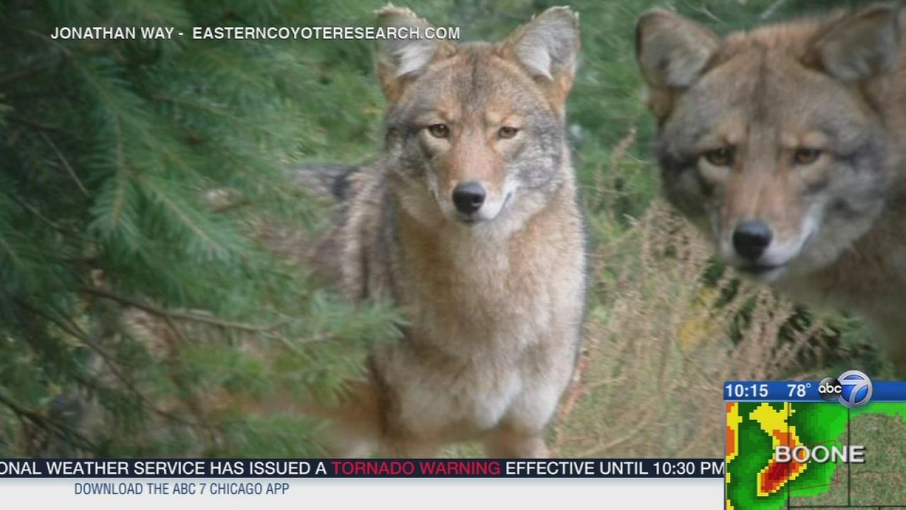 Could the coywolf hybrid come to Chicago?