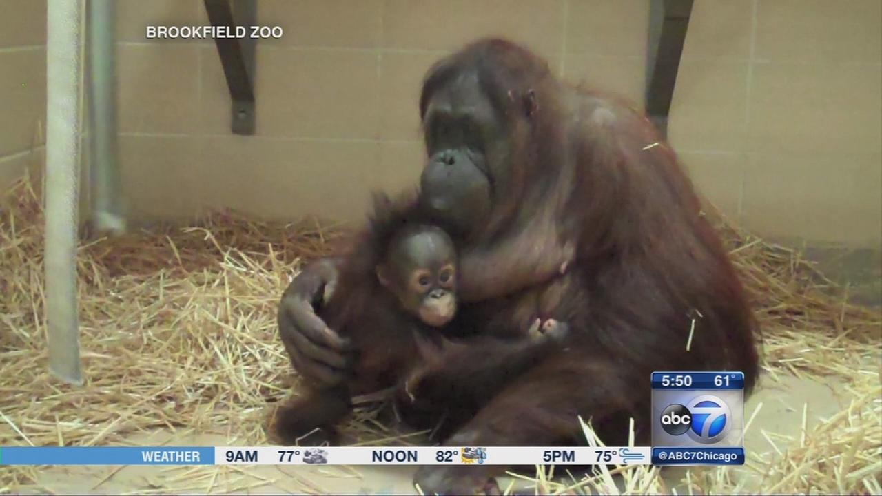 Baby orangutan bonds with surrogate mother at Brookfield Zoo