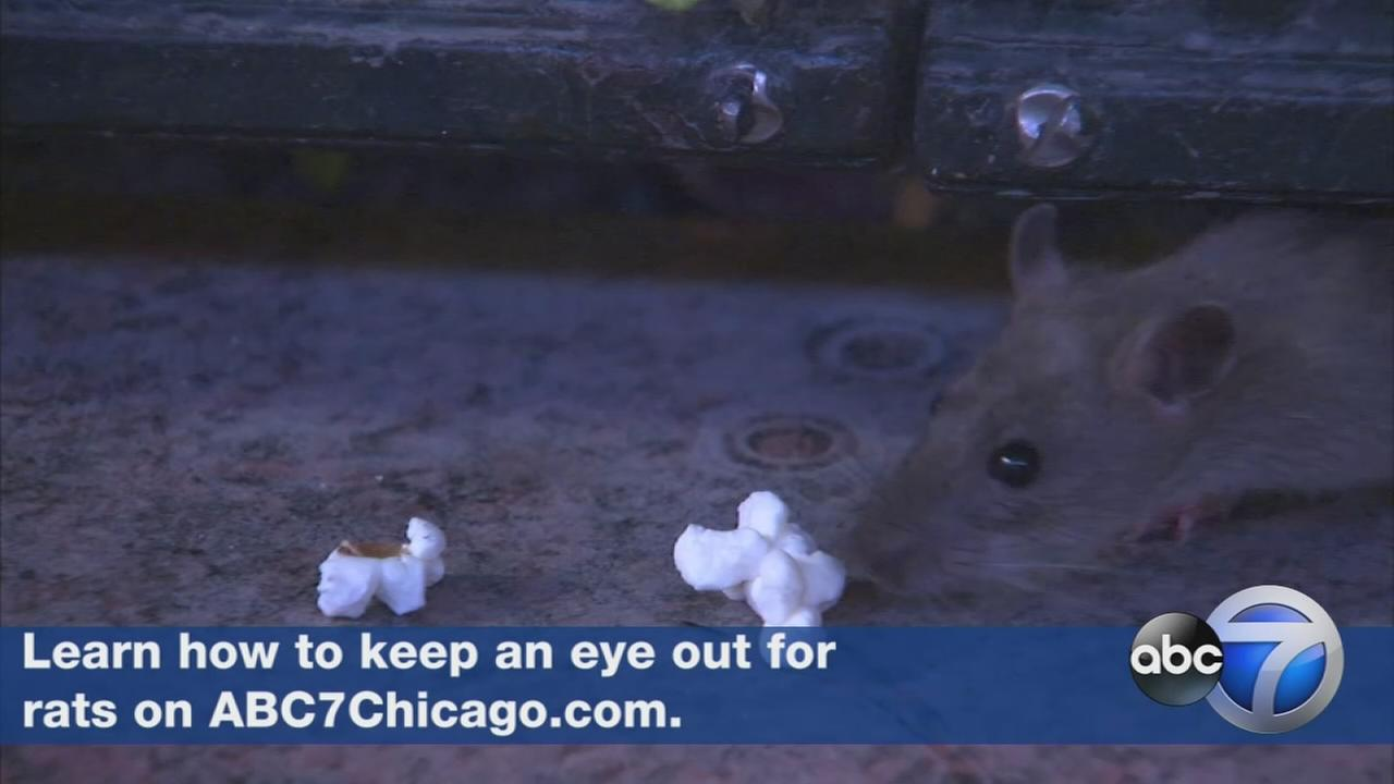 Orkin names Chicago rattiest city in US for 3rd year in a row