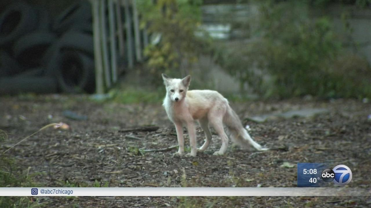 Baby fox eludes animal control on Chicagos West Side