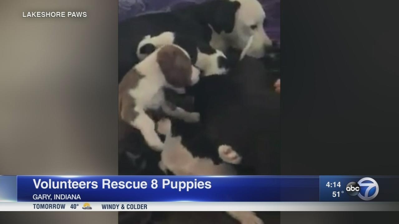 Volunteers rescue 8 puppies, reunite them with mom
