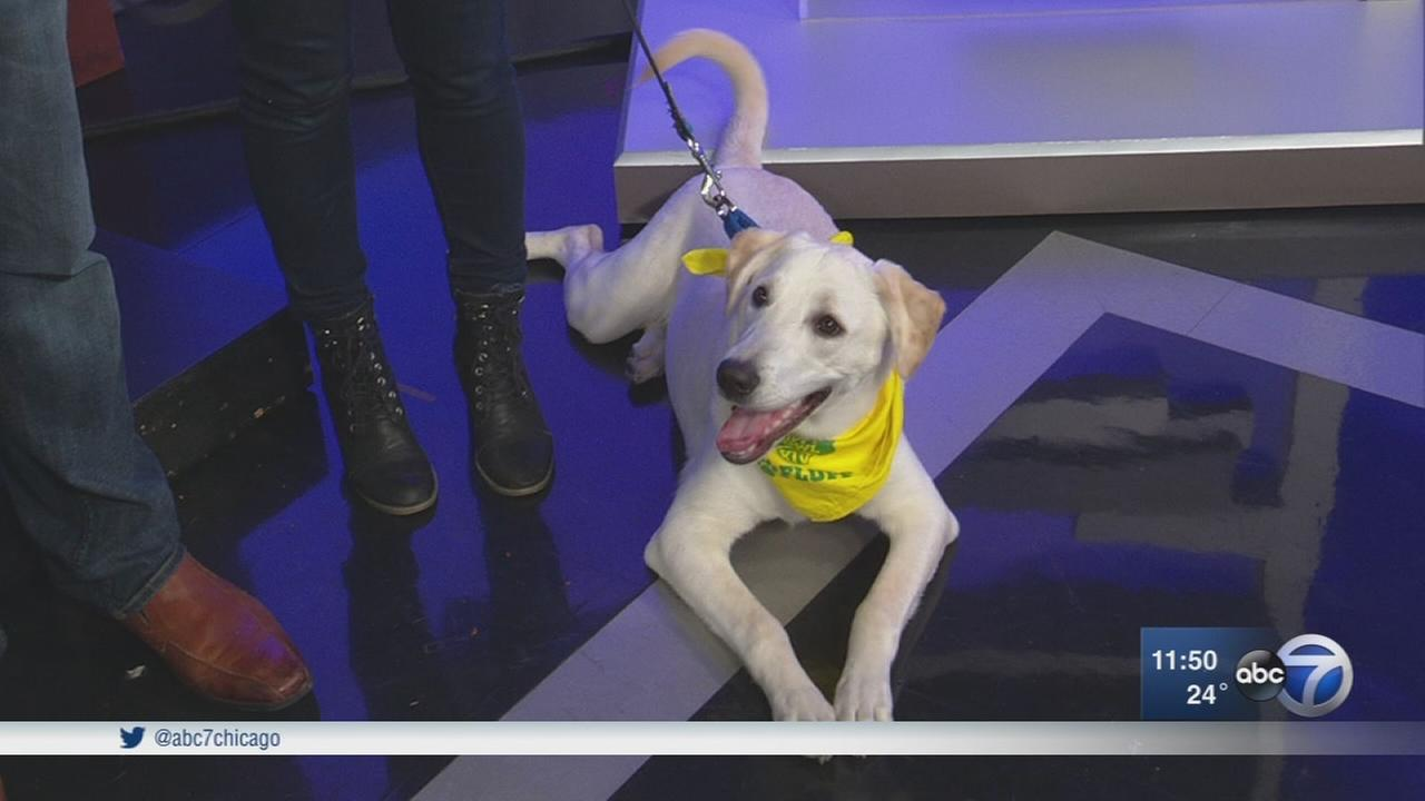 Chicago dogs ready to fetch Puppy Bowl glory, find homes