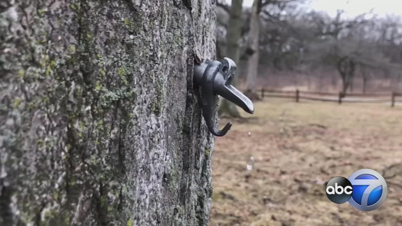 Maple syrup hikes return to Lake County