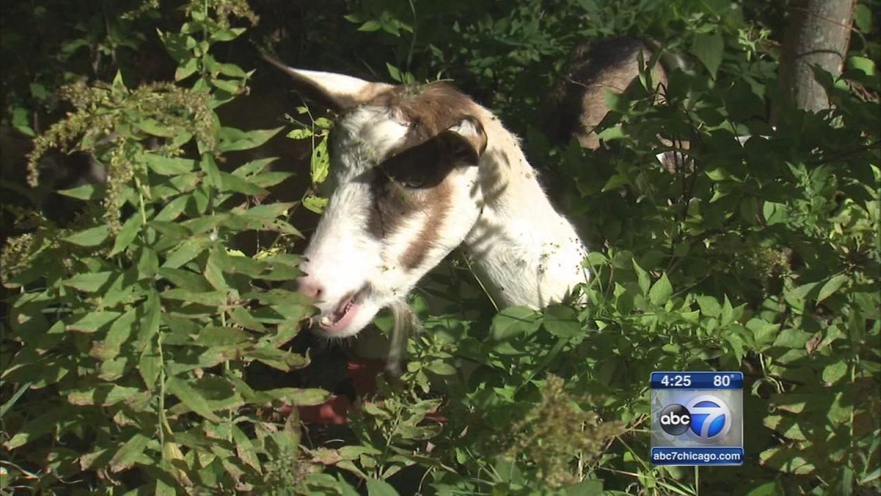 Eagle Scout using goats to attain scouting honor