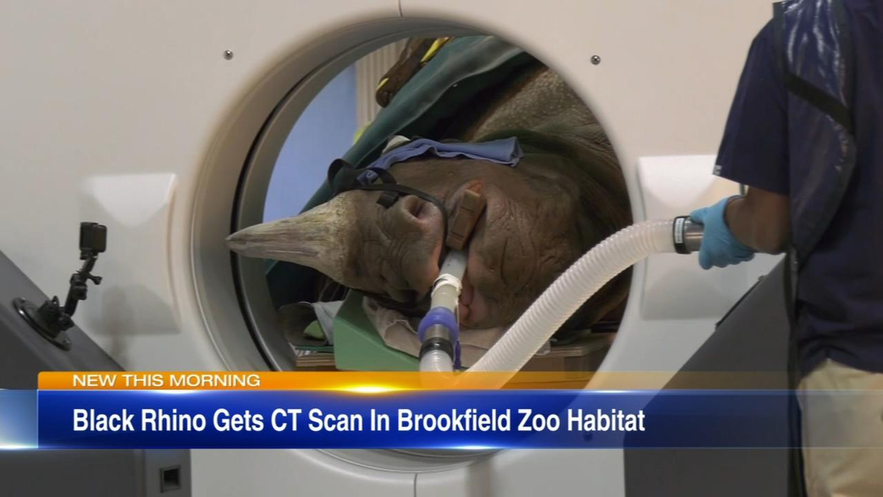 Black rhino undergoes portable CT scan at Brookfield Zoo