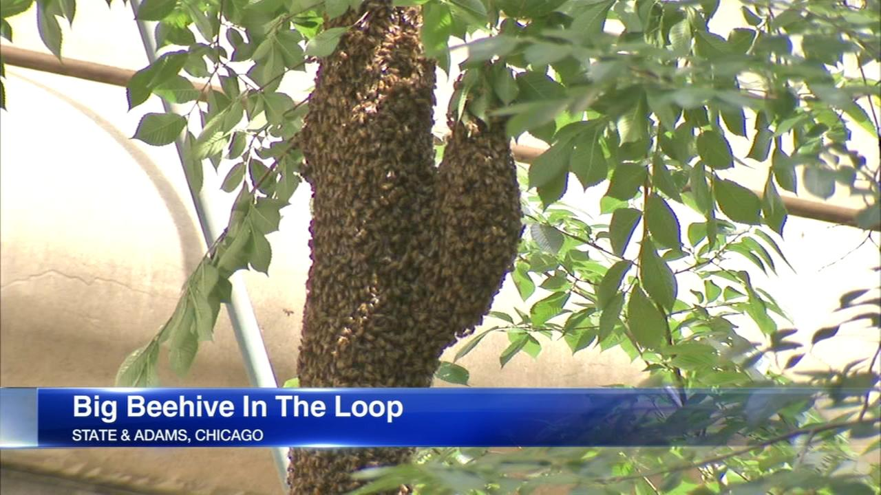 Giant beehive hangs above State Street in downtown Chicago