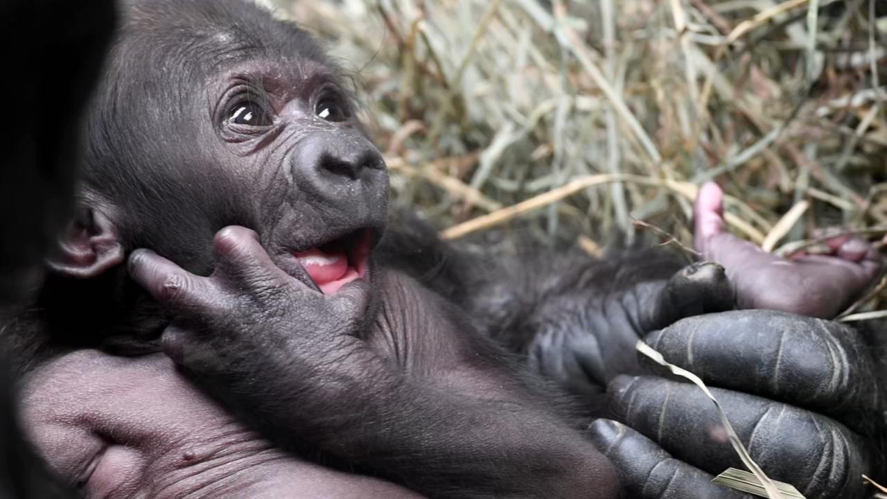 Brookfield Zoo reveals baby gorillas name