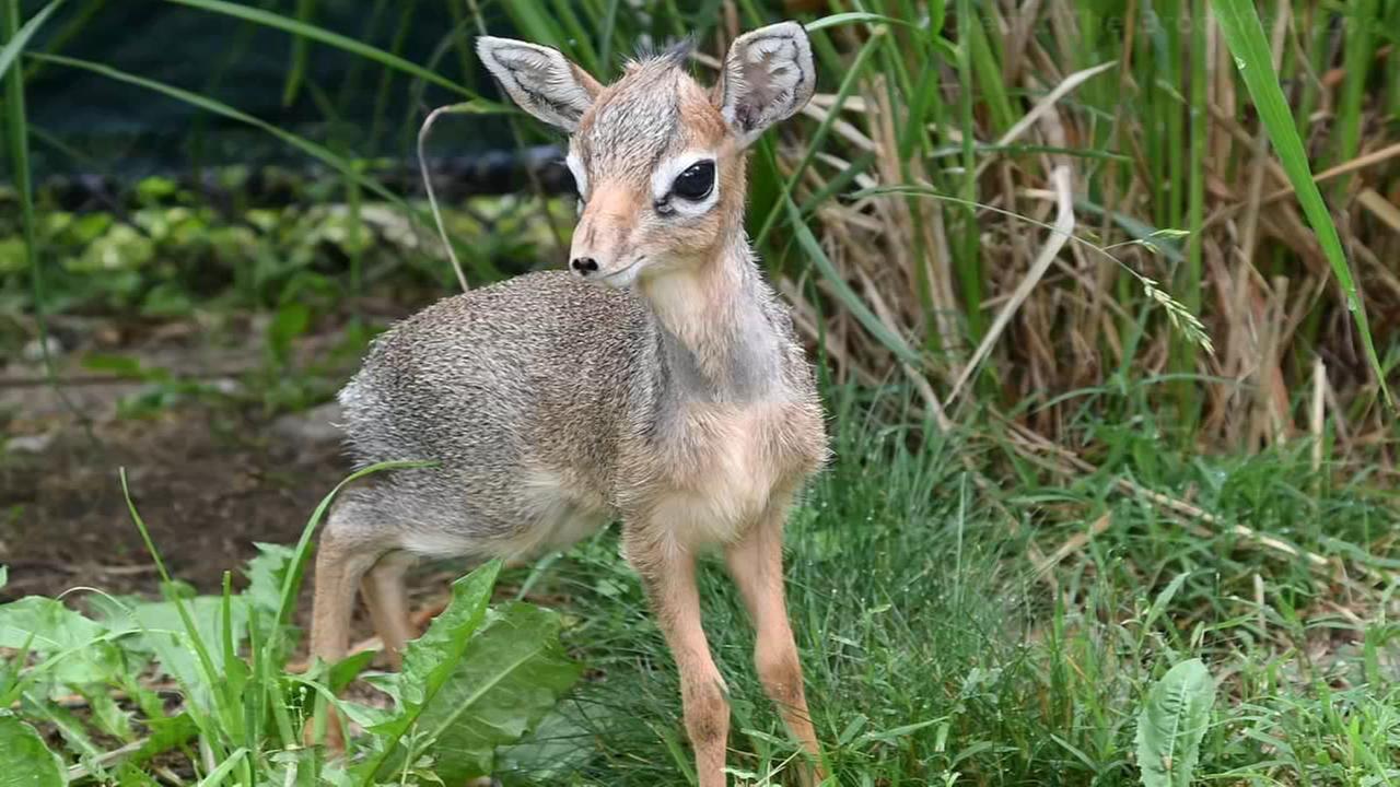 Kirks dik-dik antelope born at Brookfield Zoo