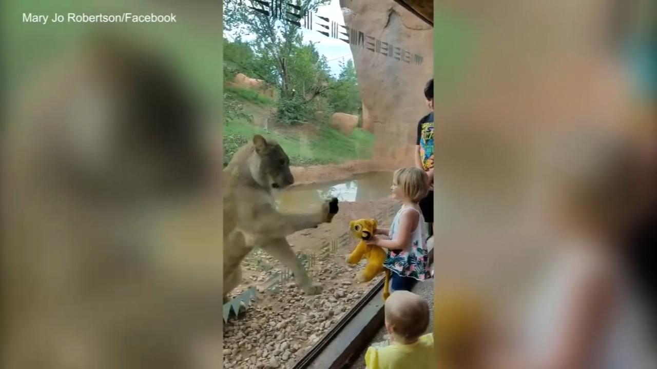 Lioness at zoo fascinated by stuffed Simba toy