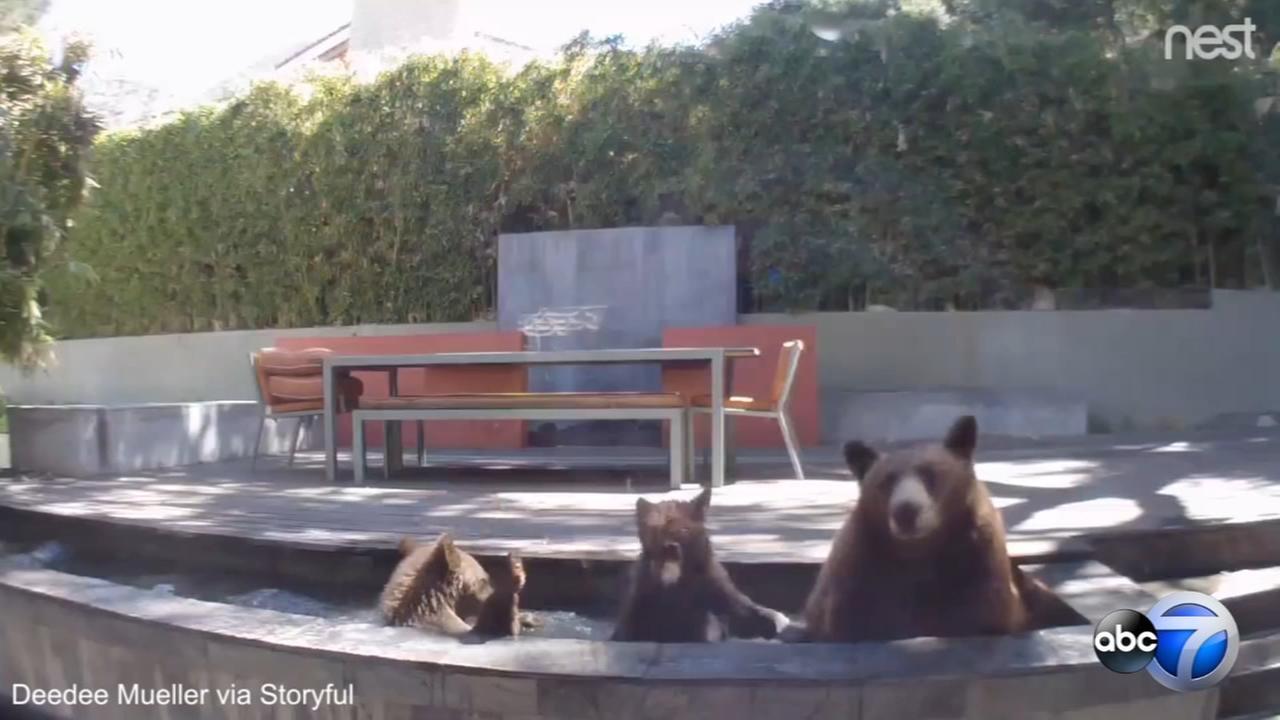 Bear family splashes around in backyard pond