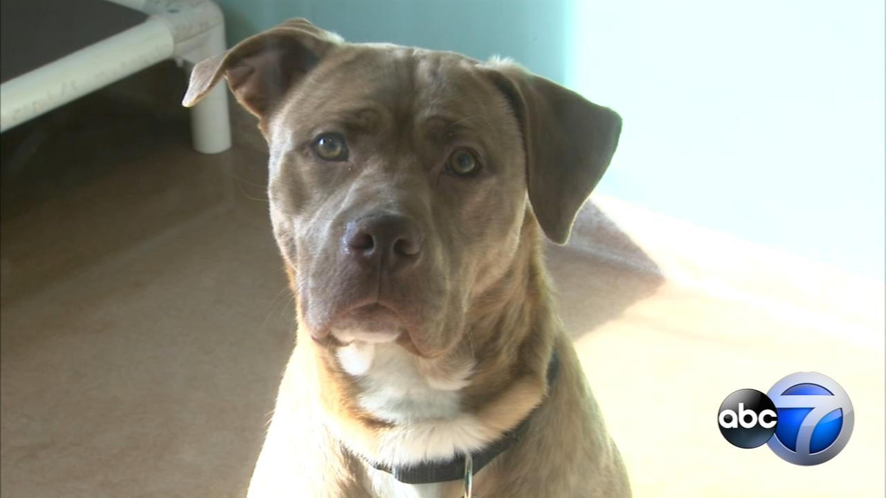 PAWS Chicago issues urgent plea for adoptions, fosters