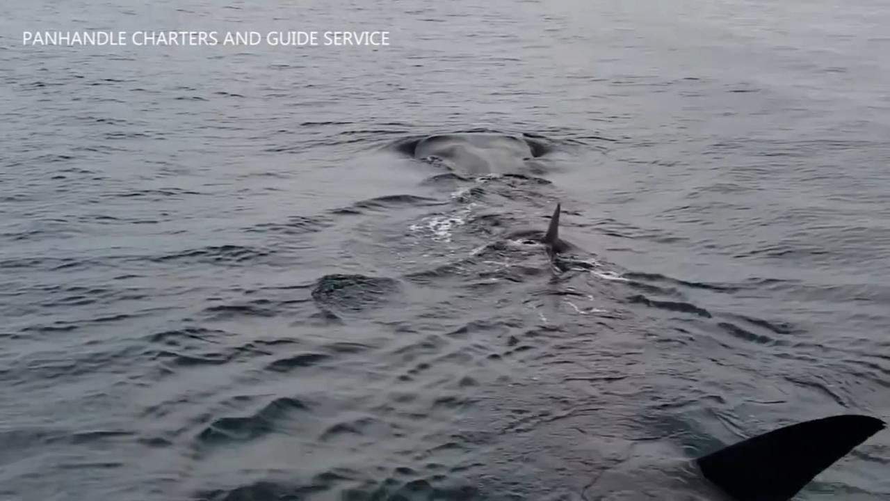 Boaters spot rare whale shark off Florida coast