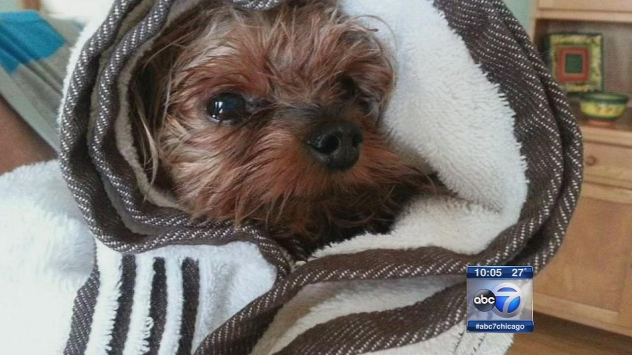 Yorkie killed by coyote