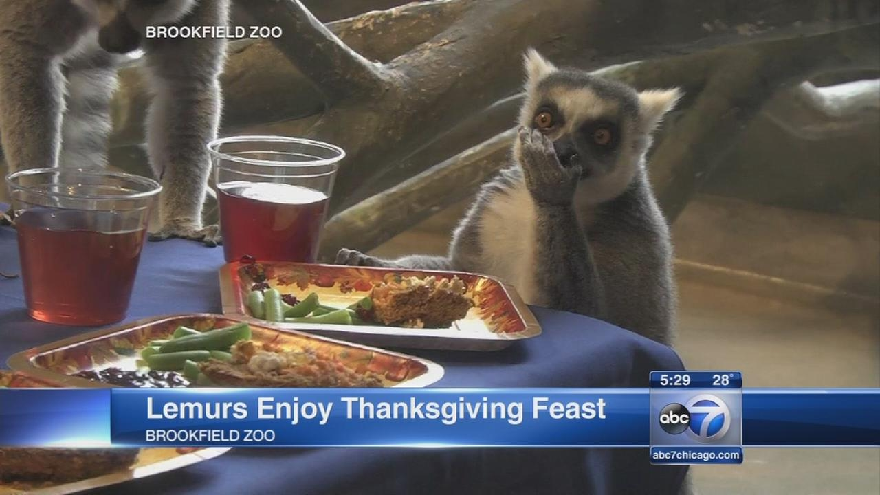 Lemurs enjoy Thanksgiving feast at Brookfield Zoo
