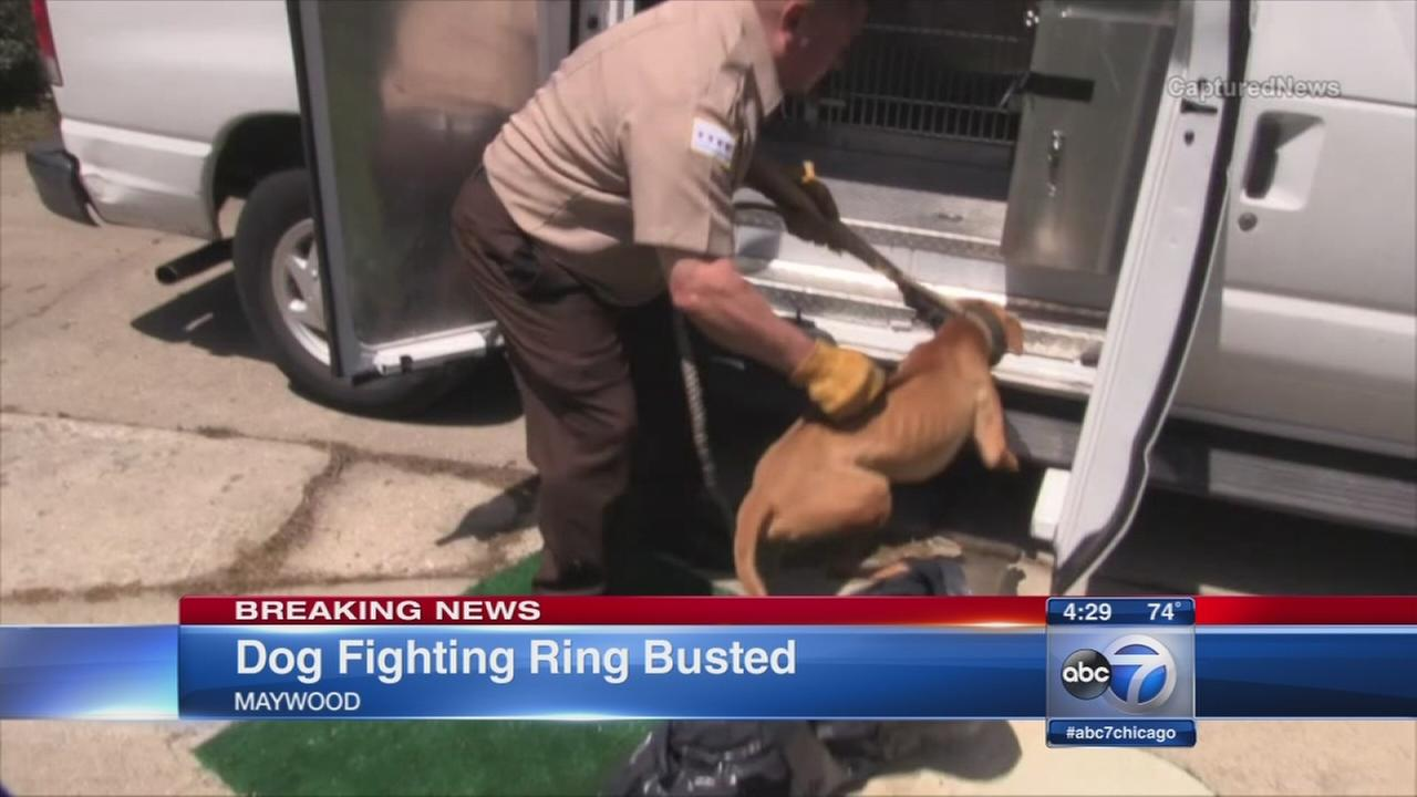 Maywood dog fighting ring busted, police say