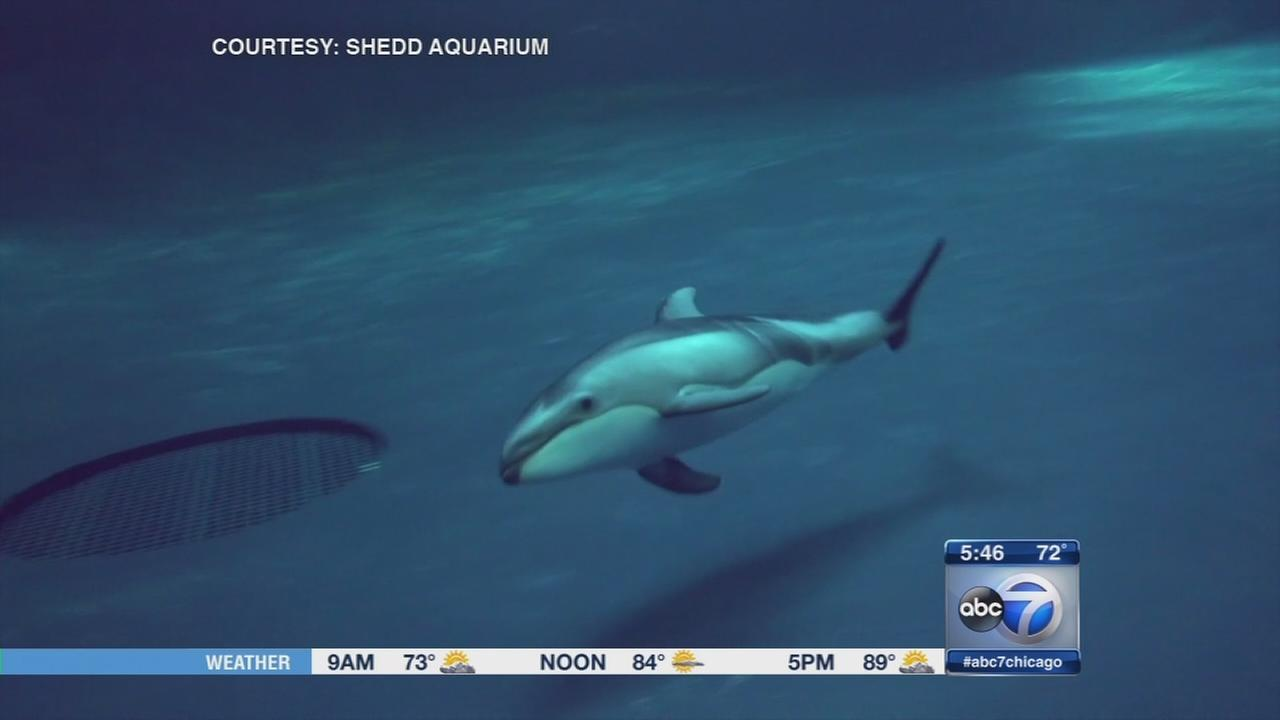 Sneak peek at baby dolphin making Shedd debut