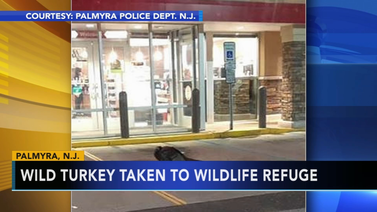 Wild turkey taken from Wawa lot to wildlife refuge. Matt ODonnell reports during Action News Mornings on January 11, 2019.