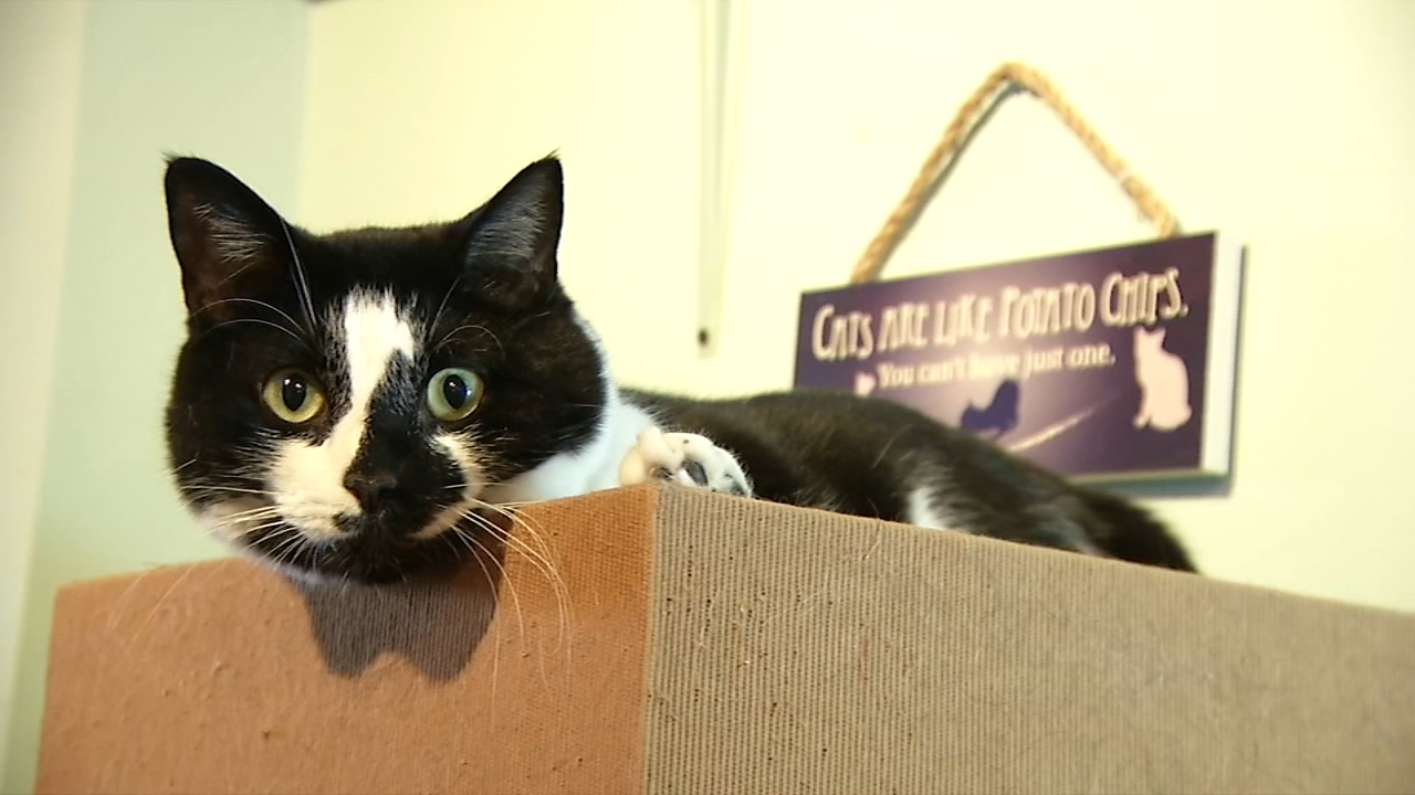Shelter Me: Le Cat Cafe. Matt ODonnell reports during Action News at 9 a.m. on January 12, 2019.