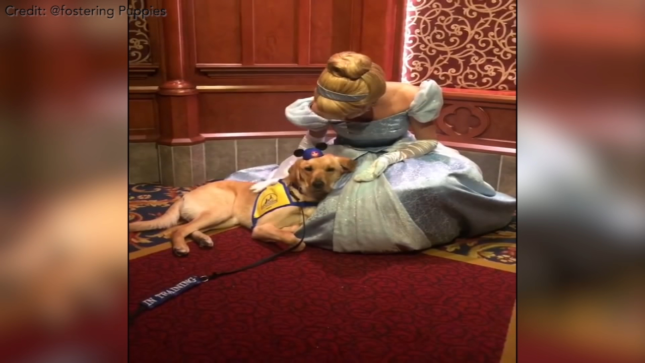 A service dog visiting Disneyland with his handler got the chance to meet Cinderella, and immediately went in for the cuddles.