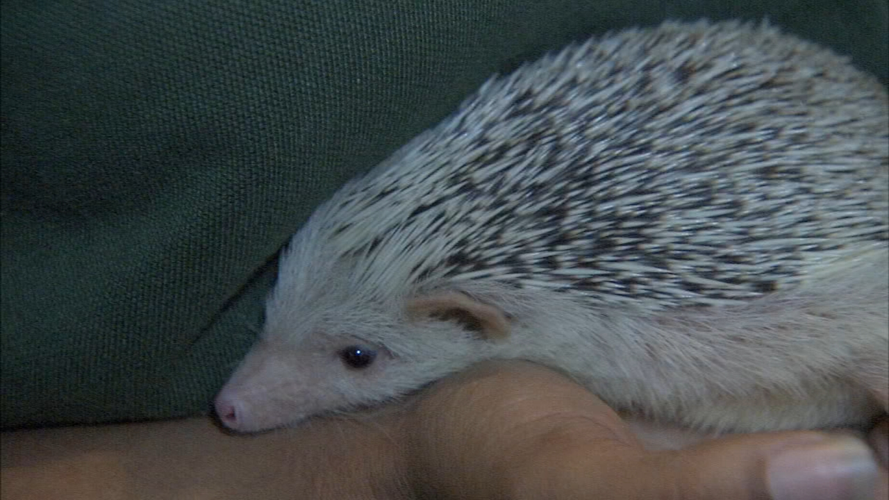 The Philadelphia Zoo visited the hospital in Philadelphias Hunting park section with their new baby hedgehog as reported during Action News at 5 on August 20, 2018.