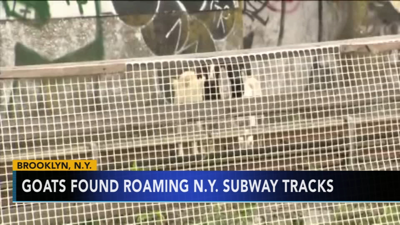 Jon Stewart helps aid goats found on New York subway tracks. Rick Williams reports during Action News Mornings on August 21, 2018.
