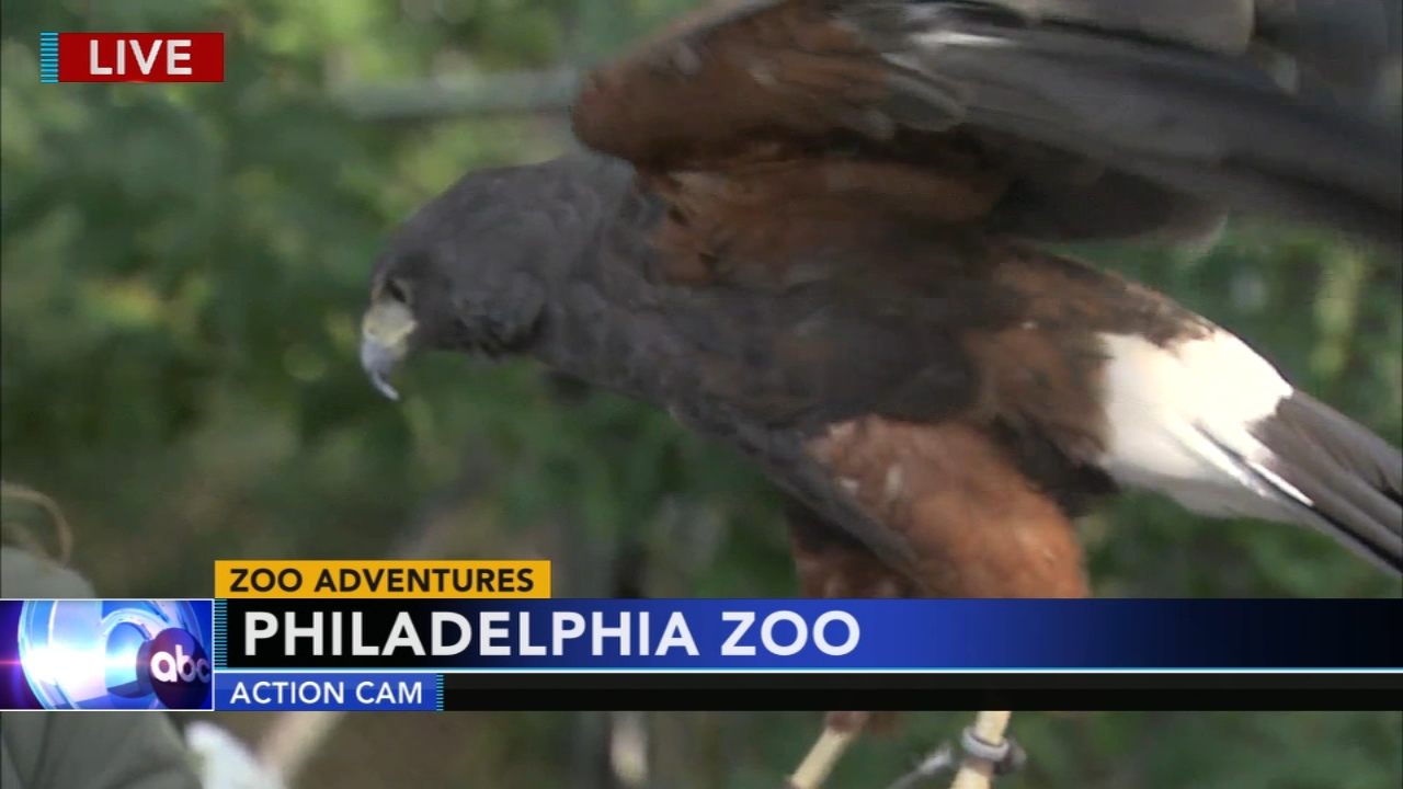 Action News meteorologist Cecily Tynan visits with Phoenix, the Harris Hawk at the Philadelphia Zoo during Action News at 5:30 p.m. on August 22, 2018.