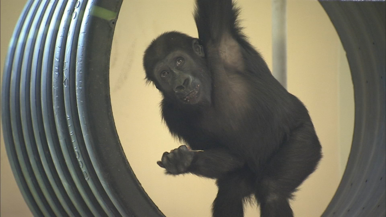 Philadelphia Zoo celebrates baby gorillas 2nd birthday. Watch the report from Action News at 4 p.m. on August 23, 2018.