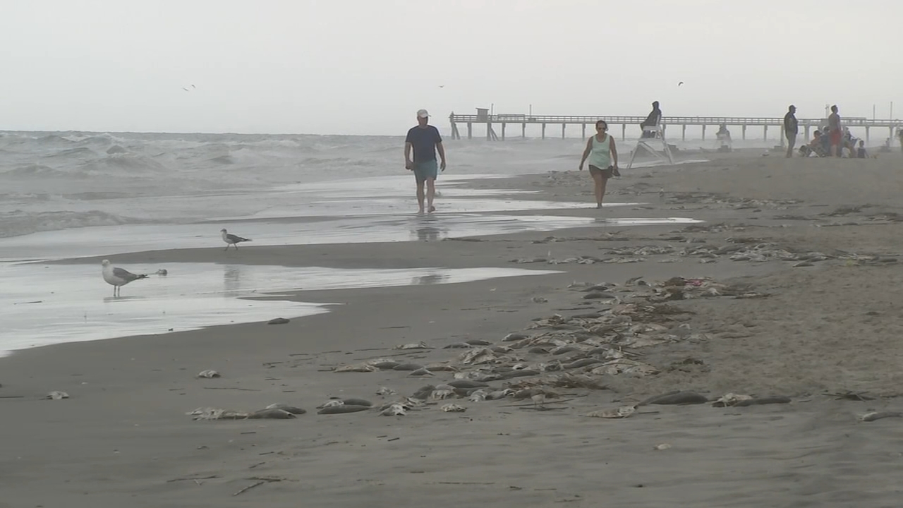 Dead fish wash up on Avalon, NJ beach. Watch Action Cam video from August 31, 2018.