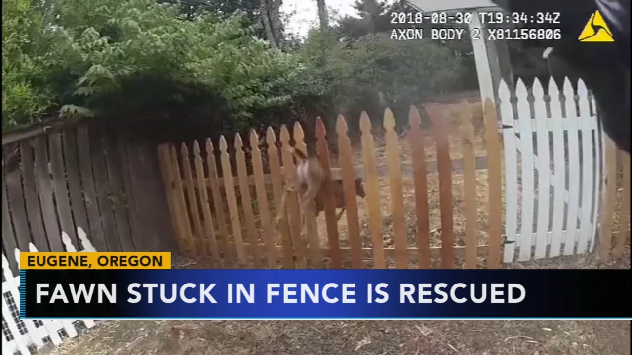 Baby deer rescued after getting stuck in fence in Oregon. Gray Hall reports during Action News at 7 a.m. on September 1, 2018.