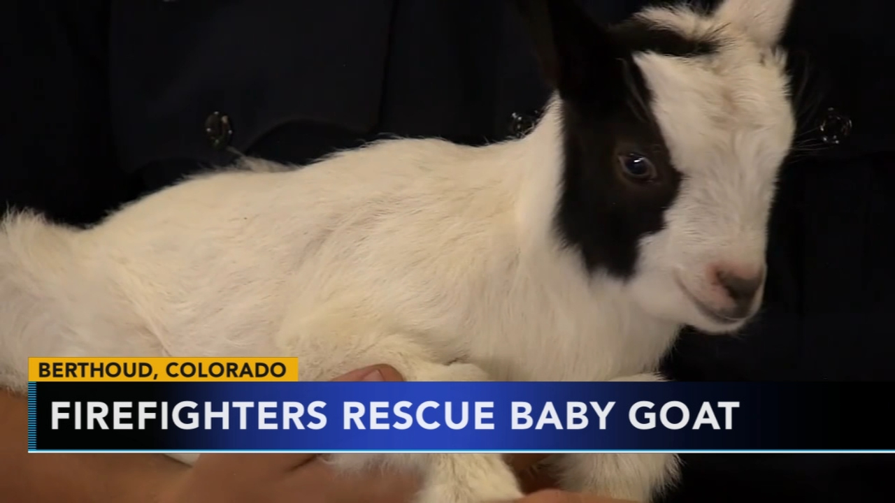 Colorado firefighters rescue baby goat from pipe. Gray Hall reports during Action News at 6 a.m. on September 1, 2018.