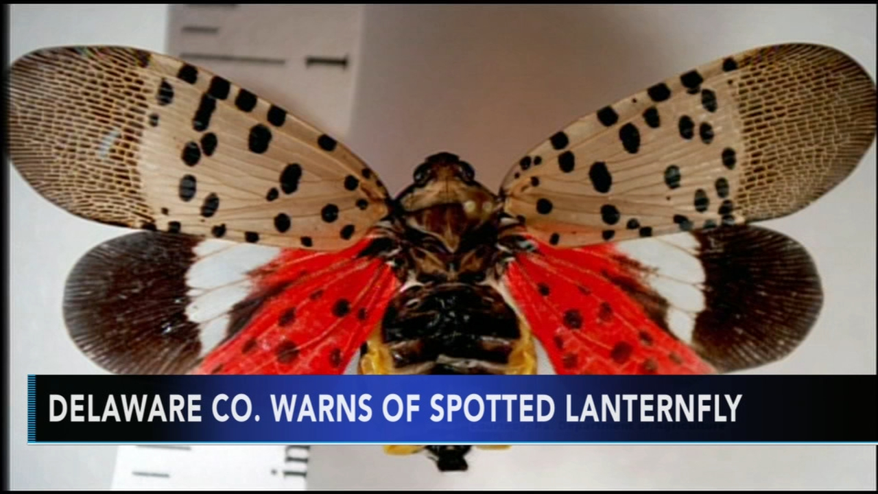 Spotted Lanternfly discovered in Delaware County. Christie Ileto reports during Action News at 9 a.m. on September 16, 2018.