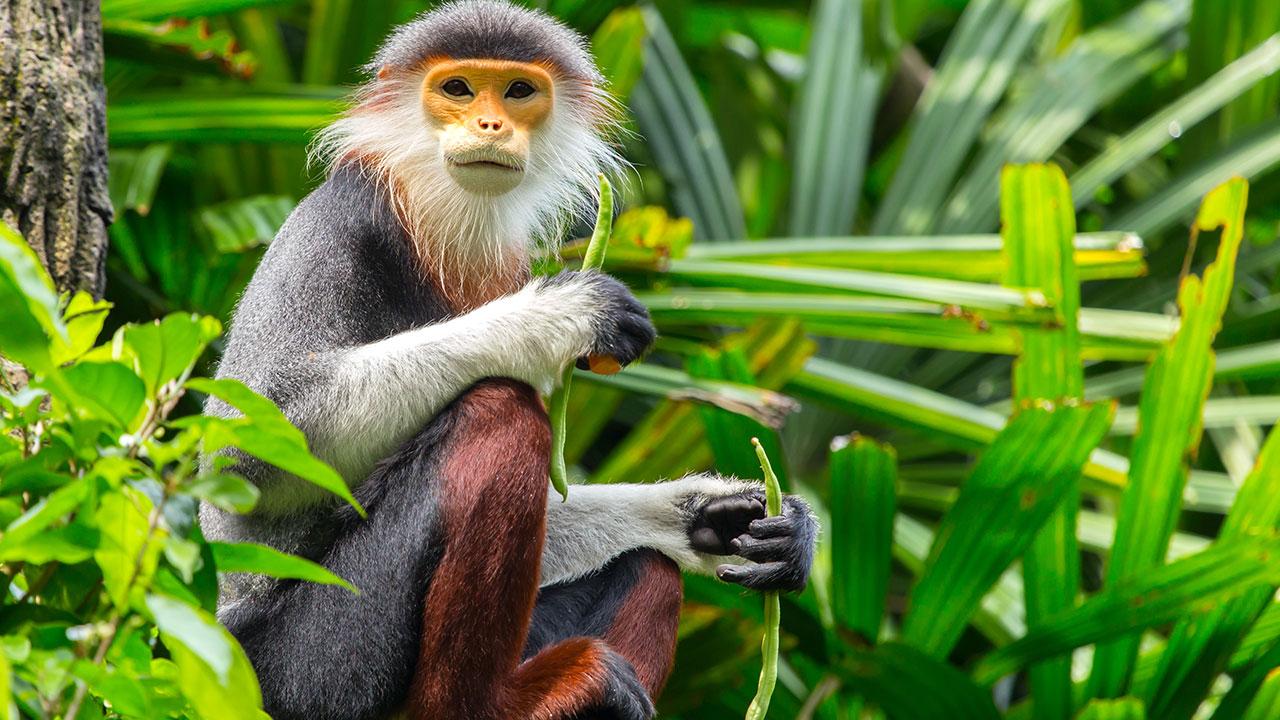 Shutterstock image of a douc langur monkey.