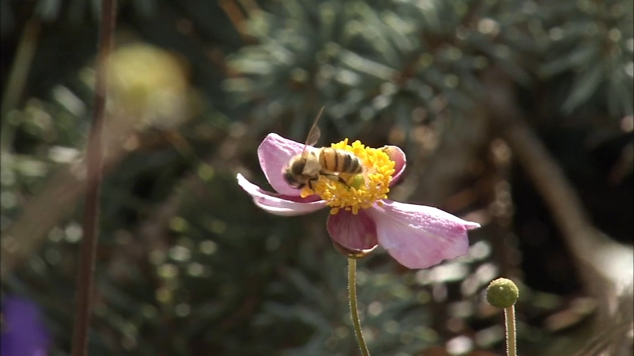 Bee hives at the center of neighborhood controversy in Hatfield Borough: Vernon Odom reports on Action News at 5 p.m., October 3, 2018