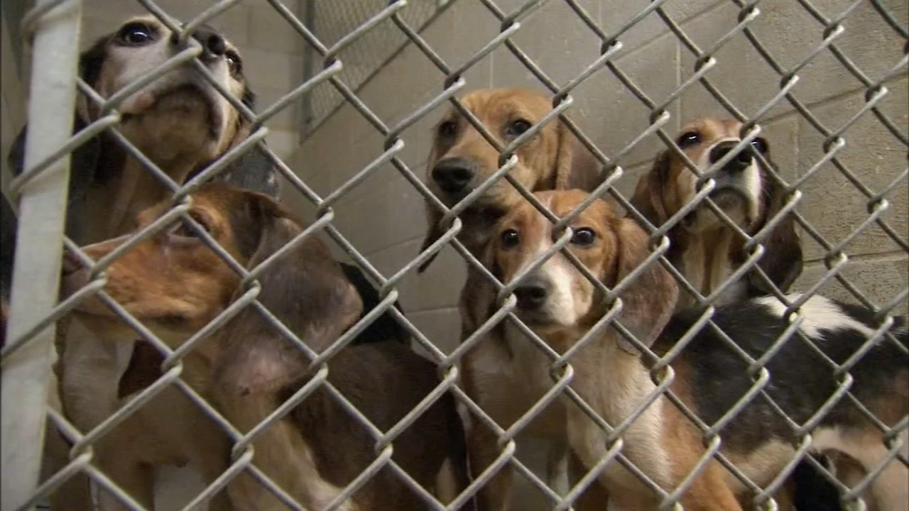 71 beagles found living in filthy conditions in Lehigh Valley. Watch the report from Walter Perez on Action News at 4:30 p.m. on October 8, 2018.