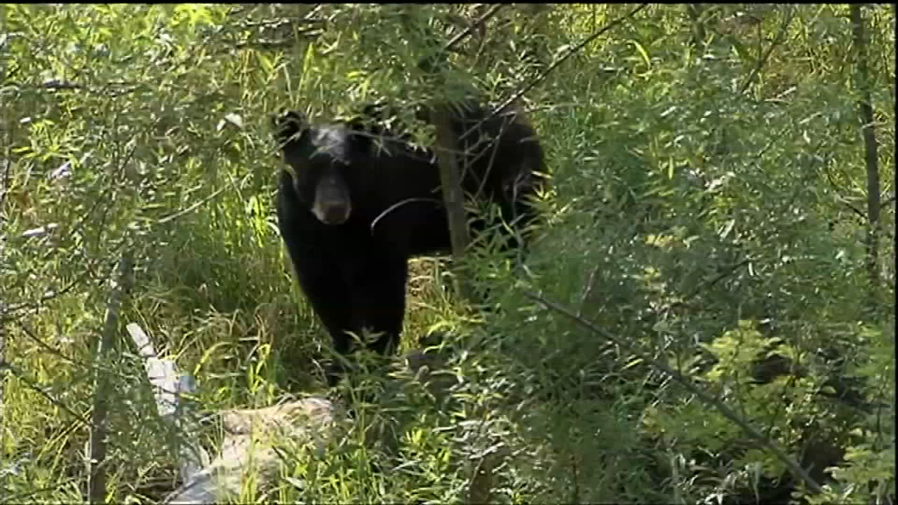 Bear hunt begins Monday in New Jersey but not on state lands. Tamala Edwards reports during Action News Mornings on October 8, 2018.